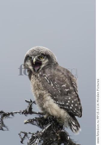 Northern Hawk Owl (Surnia ulula) fledgling calling, Alaska