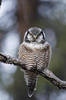 Northern Hawk Owl (Surnia ulula), Alaska