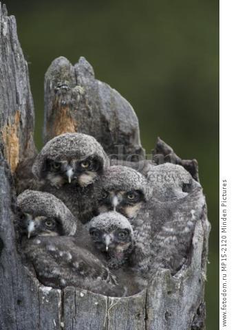 Northern Hawk Owl (Surnia ulula) chicks in nest, Alaska