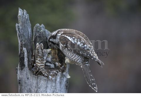 Northern Hawk Owl (Surnia ulula) male feeding Northern Red-backed Vole (Clethrionomys rutilus) prey to incubating female, Alaska