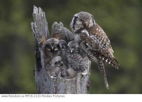 Northern Hawk Owl (Surnia ulula) parent with chicks at nest, Alaska