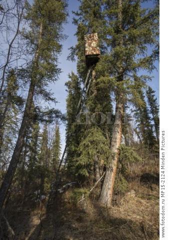 Northern Hawk Owl (Surnia ulula) photography blind, Alaska