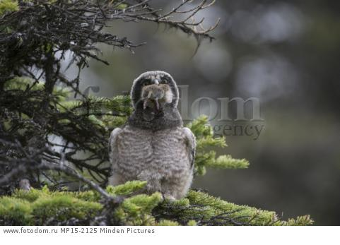 Northern Hawk Owl (Surnia ulula) fledgling swallowing Northern Red-backed Vole (Clethrionomys rutilus) prey, Alaska, sequence 2 of 5