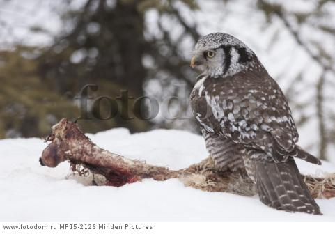 Northern Hawk Owl (Surnia ulula) female scavenging on Caribou carcass in winter, Alaska