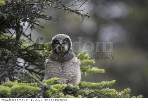 Northern Hawk Owl (Surnia ulula) fledgling swallowing Northern Red-backed Vole (Clethrionomys rutilus) prey, Alaska, sequence 4 of 5