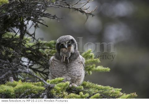 Northern Hawk Owl (Surnia ulula) fledgling swallowing Northern Red-backed Vole (Clethrionomys rutilus) prey, Alaska, sequence 1 of 5