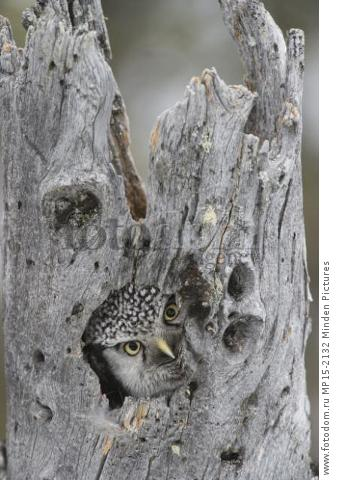 Northern Hawk Owl (Surnia ulula) peering from nest, Alaska