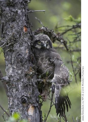 Northern Hawk Owl (Surnia ulula) fledgling climbing tree after failed flying attempt, Alaska