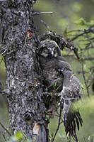 Northern Hawk Owl (Surnia ulula) fledgling climbin