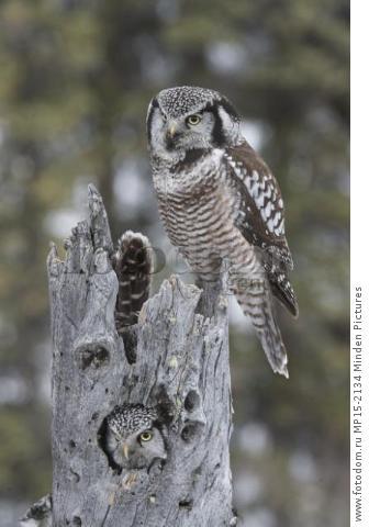 Northern Hawk Owl (Surnia ulula) pair at nest, Alaska