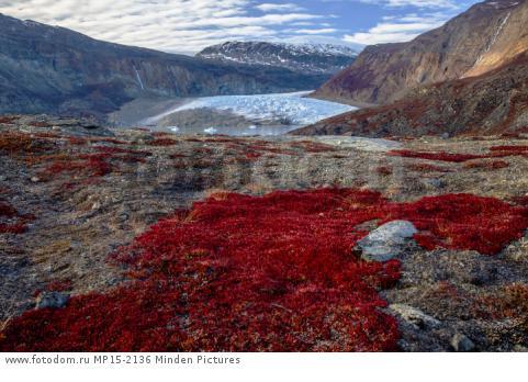 Tundra plants and glacier, Scoresby Sound, Greenland