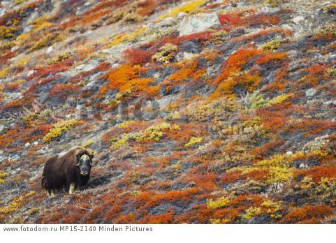 Muskox (Ovibos moschatus) in tundra in autumn, Scoresby Sound, Greenland