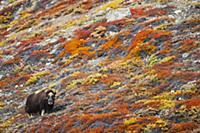 Muskox (Ovibos moschatus) in tundra in autumn, Sco