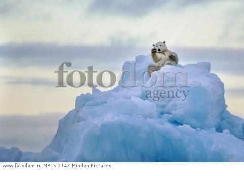 Polar Bear (Ursus maritimus) rolling on iceberg, Scoresby Sound, Greenland