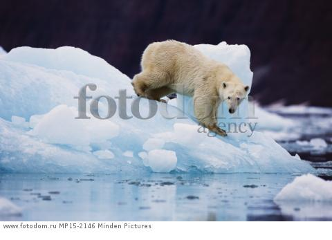 Polar Bear (Ursus maritimus) on iceberg, Scoresby Sound, Greenland