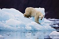 Polar Bear (Ursus maritimus) on iceberg, Scoresby