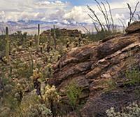 Saguaro (Carnegiea gigantea) and Opuntia (Opuntia