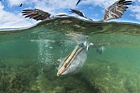 Brown Pelican (Pelecanus occidentalis) with pouch