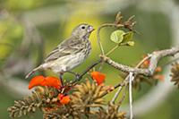 Vegetarian Tree Finch (Camarhynchus crassirostris)