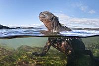 Marine Iguana (Amblyrhynchus cristatus) in water,
