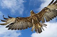 Galapagos Hawk (Buteo galapagoensis) flying, Alced