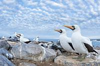 Nazca Booby (Sula granti) group on coast, Punta Su
