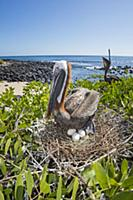 Brown Pelican (Pelecanus occidentalis) on nest wit