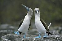Blue-footed Booby (Sula nebouxii) pair performing