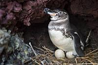 Galapagos Penguin (Spheniscus mendiculus) incubati