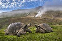 Volcan Alcedo Giant Tortoise (Chelonoidis nigra va
