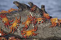 Sally Lightfoot Crab (Grapsus grapsus) group shari