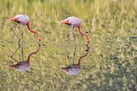 Greater Flamingo (Phoenicopterus ruber) pair forag