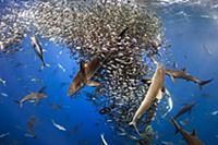 Silky Shark (Carcharhinus falciformis), Galapagos