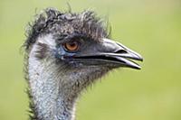 Emu (Dromaius novaehollandiae), Parndana, Kangaroo