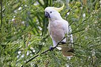 Sulphur-crested Cockatoo (Cacatua galerita), Long
