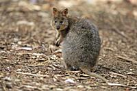 Quokka (Setonix brachyurus), Mount Lofty, South Au