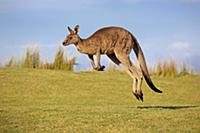 Eastern Grey Kangaroo (Macropus giganteus) male ju