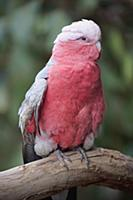 Galah (Eolophus roseicapilla), Parndana, Kangaroo