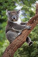Koala (Phascolarctos cinereus) in tree, Parndana,