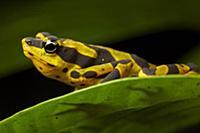 Pebas Stubfoot Toad (Atelopus spumarius), Nuqui, C