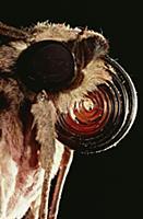 Morgan's Sphinx (Xanthopan morgani) moth portrait