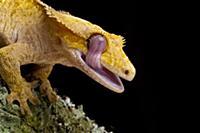 New Caledonian Crested Gecko (Rhacodactylus ciliat