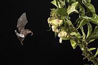 Pallas' Long-tongued Bat (Glossophaga soricina) fe