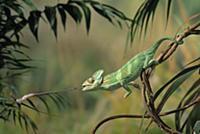 Veiled Chameleon (Chamaeleo calyptratus) striking