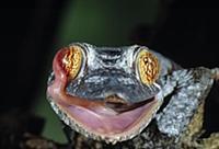 Henkel's Leaf-tailed Gecko (Uroplatus henkeli) lic