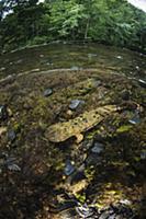 Eastern Hellbender (Cryptobranchus alleganiensis a