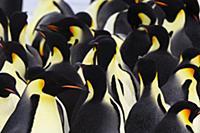 Emperor Penguin (Aptenodytes forsteri) group of ad