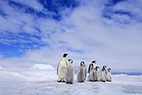 Emperor Penguin (Aptenodytes forsteri) two adults
