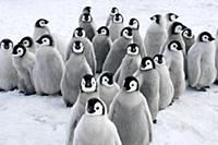 Emperor Penguin (Aptenodytes forsteri) chicks, Sno