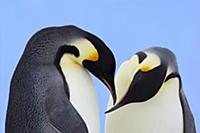 Emperor Penguin (Aptenodytes forsteri) pair courti